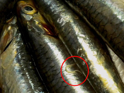 anisakis-tra-ricette-pesce-crudo-400